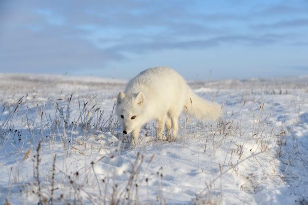 Lis polarny zimą w syberyjskiej tundrze
