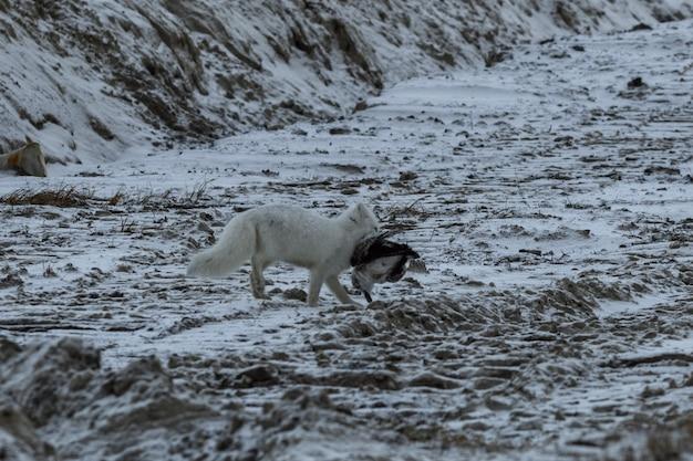 Lis polarny zimą znalazł martwego ptaka.