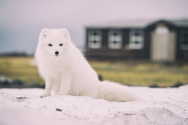 Lis Polarny Darmowe Zdjęcia