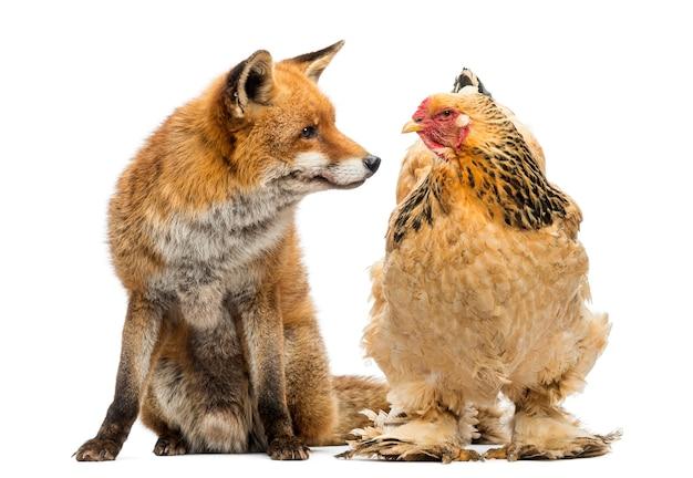 Lis rudy, vulpes vulpes, siedzący obok kury, patrzący na siebie na białym tle