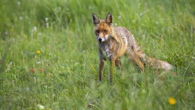 Lis rudy, vulpes vulpes, stojący na łące kwiatowej w letniej naturze. dziki drapieżnik patrząc na zielone pole w okresie letnim. pomarańczowy ssak oglądający na łące.