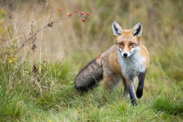 Lis rudy, vulpes vulpes, zbliżający się na łące jesienią