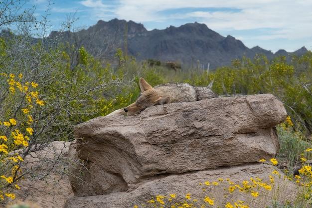Lis śpi na formacji skalnej otoczonej krzakami i wysokimi skalistymi górami