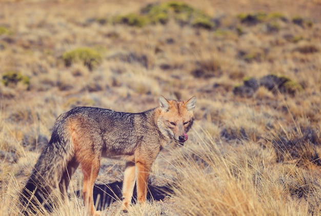 Lis szary południowoamerykański (lycalopex griseus), lis patagoński, w górach patagonii
