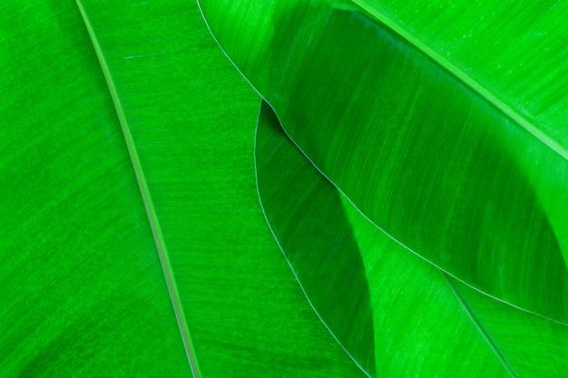 Liść banana dla tła i natury projekta.