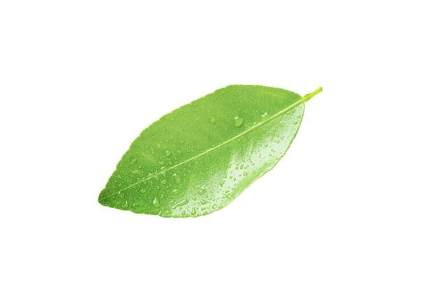 Liść cytryny na białym tle ze ścieżką przycinającą. zielone liście drzewa cytrusowego.