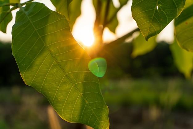 Liść drzewa kauczukowego, plantacji kauczuku lateksowego i kauczuku