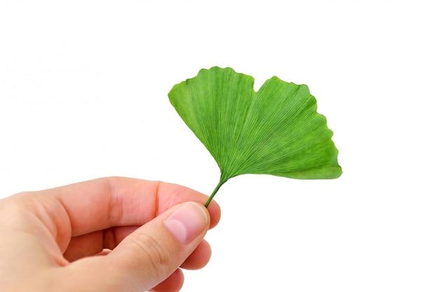 Liść drzewa miłorząb dwuklapowy w ręku