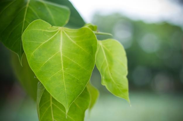 Liść drzewa pho