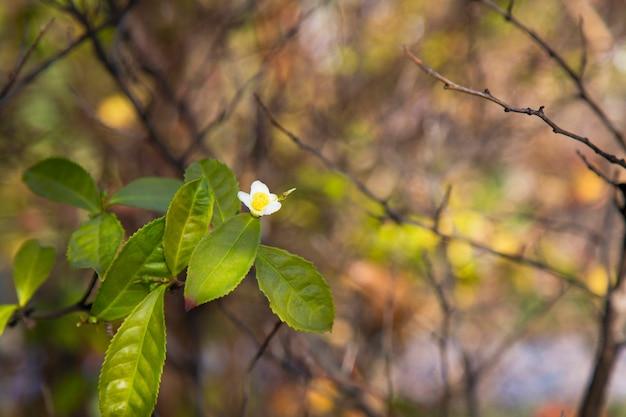 Liść herbaty i biały kwiat na plantacji herbaty kwiat herbaty na pniu piękna i świeża biała herbata k...