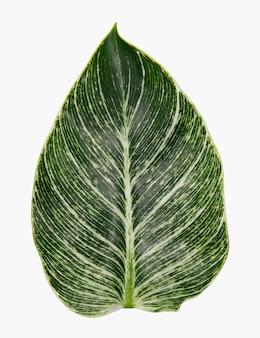 Liść kalatei z rośliny domowej
