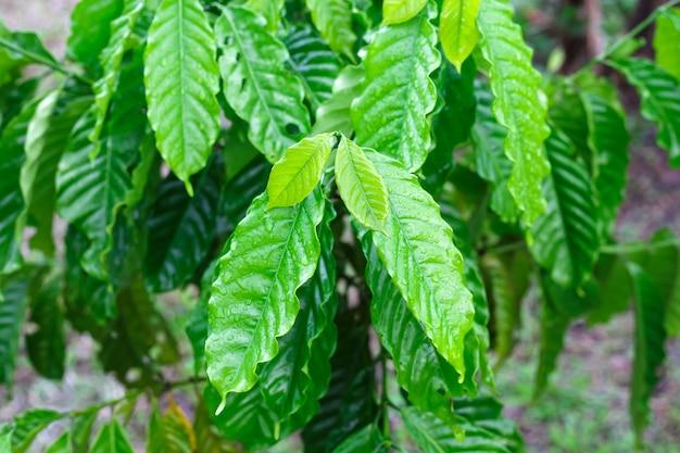 Liść kawy robusta z kroplą rosy w ogrodzie kawowym