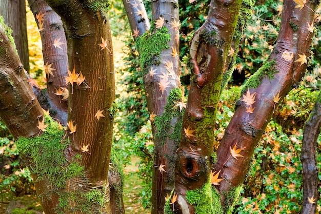 Liść klonowy na pniach drzew