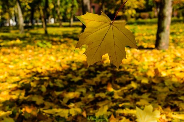 Liść klonowy spada w parku. jesienna koncepcja spada w parku. jesienna koncepcja