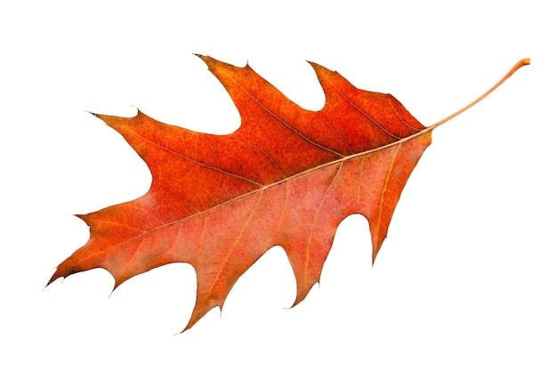 Liść klonowy w ciepłych jesiennych kolorach. na białym tle