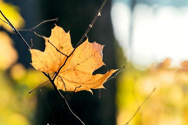 Liść klonu opadłego w lesie przy słonecznej pogodzie w ciepłych kolorach