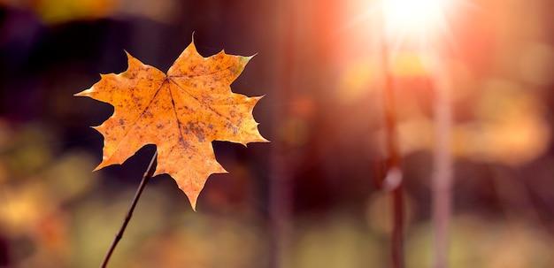 Liść klonu z bliska w lesie na drzewie podczas zachodu słońca w ciepłych jesiennych kolorach