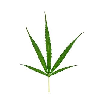 Liść konopi, marihuana na białym tle nad białą ścianą