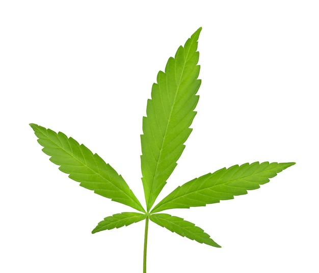 Liść konopi na białym tle. liść konopi z bliska. zielony liść marihuany.