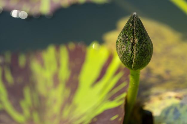 Liść kwiatu lotosu. ścieśniać