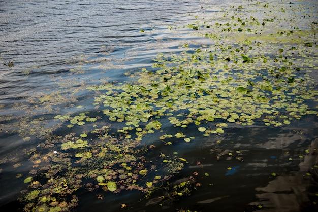 Liść lilii wodnej. dnipro, ukraina