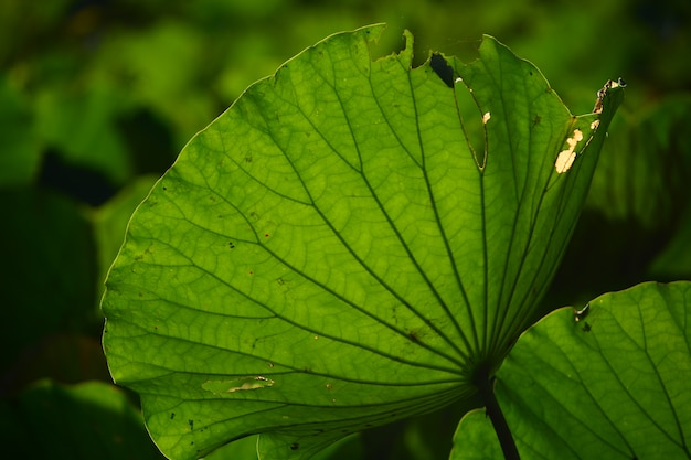 Liść lotosu na tle