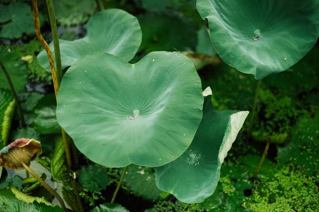 Liść lotosu w basenie