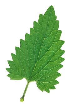 Liść melisy (melissa officinalis) na białym tle. jeden zielony świeży liść.