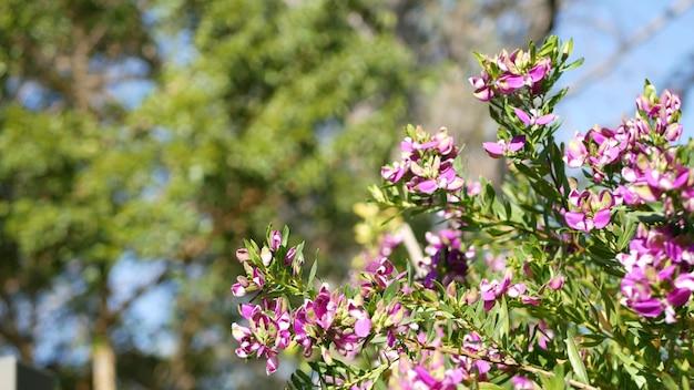 Liść mirtu mleczny fioletowy kwiat, kalifornia usa. polygala myrtifolia kwitną wiosną. domowe ogrodnictwo, amerykańska dekoracyjna ozdobna roślina doniczkowa, naturalna atmosfera botaniczna. fioletowy wiosenny kwiat