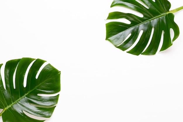 Liść monstera na białym tle drewnianych. liść palmowy, prawdziwe liście tropikalnej dżungli, szwajcarski ser. widok płaski i widok z góry.
