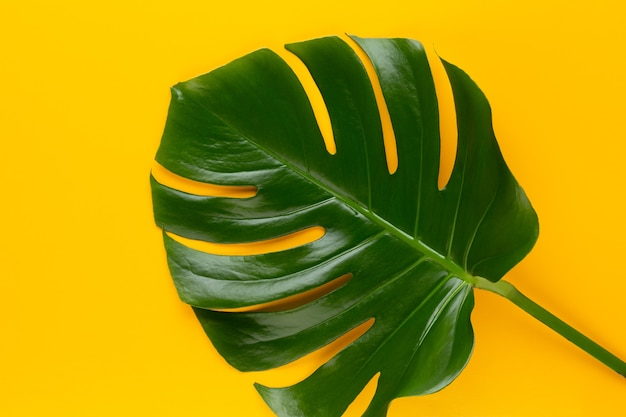 Liść monstera na kolorowym tle. liść palmowy, prawdziwy szwajcarski ser z liści dżungli widok płaski i górny.