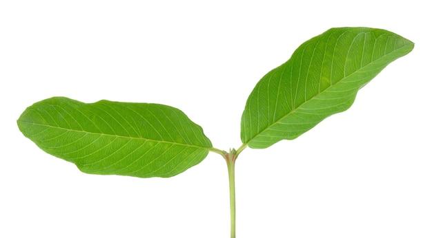 Liść owocu guawy na białym tle