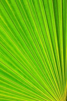 Liść palmy cukrowej