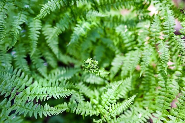 Liść paproci w wiosennym lesie, zielona dzika roślina