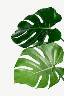 Liść rośliny monstera delicosa na białym tle