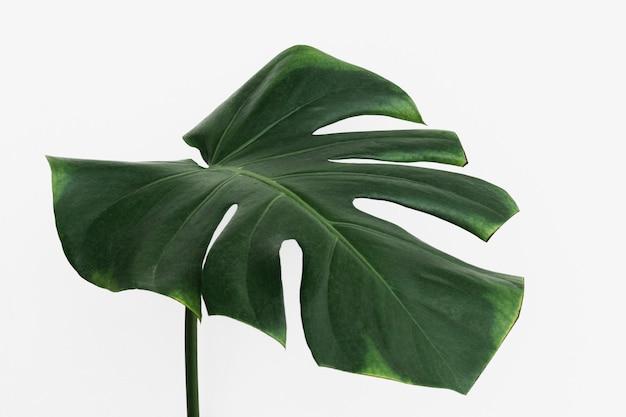 Liść rośliny monstera delicosa na złamanym białym tle