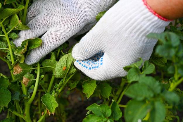 Liść rośliny ziemniaka z żółtymi jajami i larwami stonki ziemniaczanej. temat ochrony roślin rolniczych przed robakami i szkodnikami. zwalczanie szkodników.