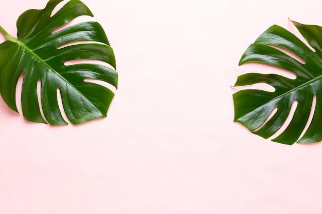 Liść tropikalnej dżungli, monstera, spoczywający na płaskiej powierzchni, na brzoskwini.