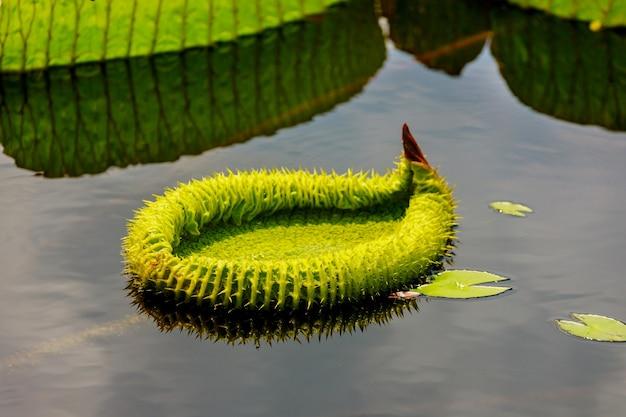 Liść victoria amazonica na powierzchni wody. koncepcja botaniczna.