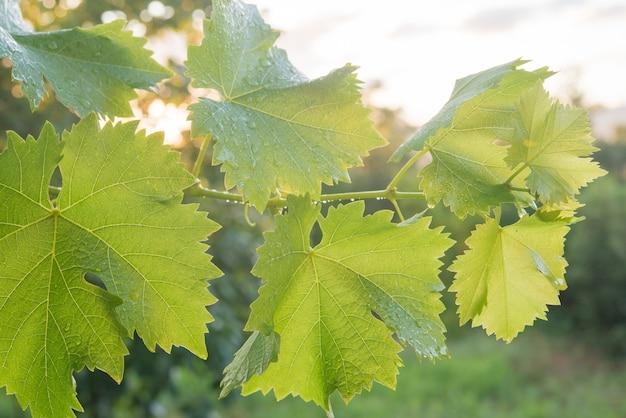 Liść winogronowy (winogron) o zachodzie słońca niedawno padał deszcz