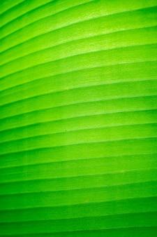 Liść zielonego banana