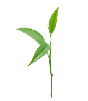 Liść zielonej herbaty na białym tle