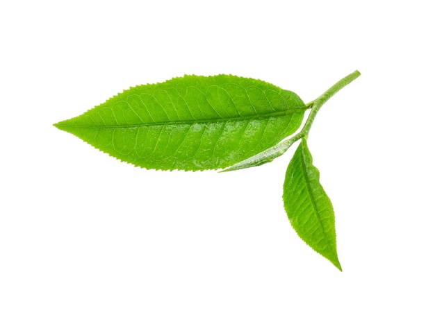 Liść zielonej herbaty z kroplami wody na białym tle