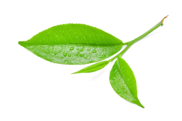Liść zielonej herbaty z na białym tle