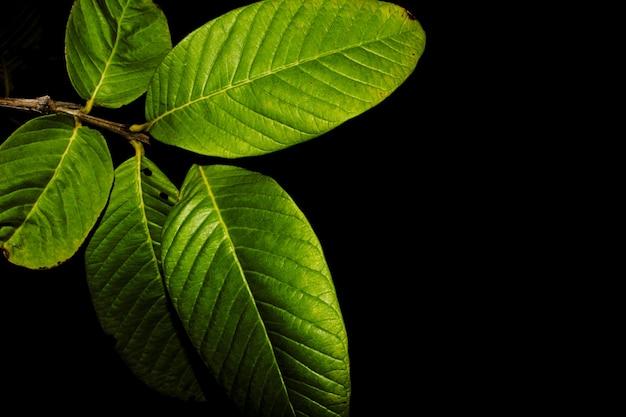Liści z drzewa guawa w nocy
