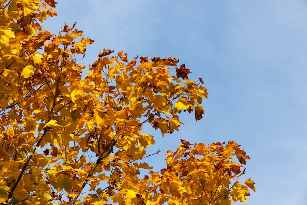 Liściaste dęby w lesie lub w parku jesienią opadanie liści, dąb ze zmieniającym się liściem, piękna przyroda z dębem w parku