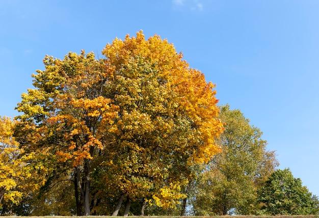 Liściaste dęby w lesie lub w parku jesienią opadanie liści, dąb ze zmiennymi liśćmi, piękna przyroda z dębem