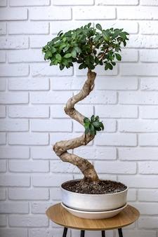 Liściaste drzewo bonsai w doniczce na stole w pobliżu białej ściany z cegły
