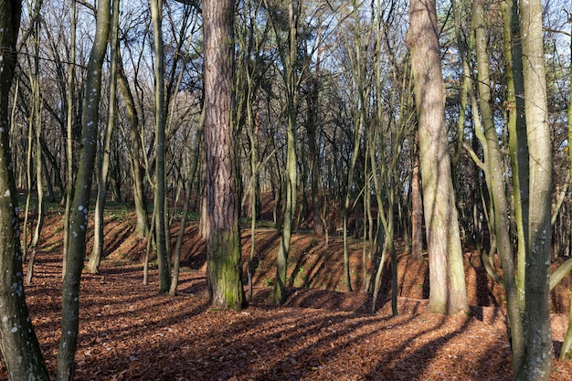 Liściaste liście i liście na gałęziach drzew w sezonie jesiennym, piękna przyroda jesienią w lesie