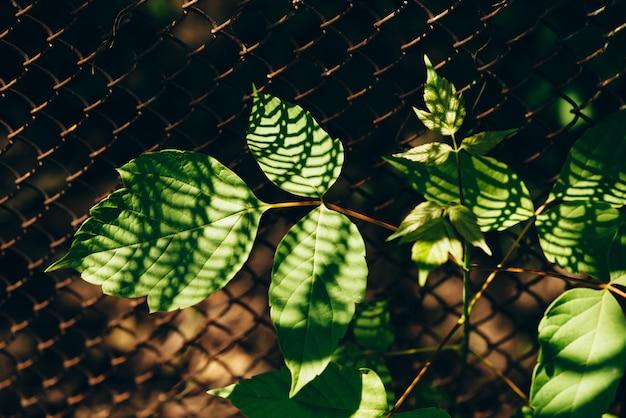 Liście acer negundo na tle siatki ogrodzenie są zbliżeniem. cień z siatki na liściu klonu w makro.